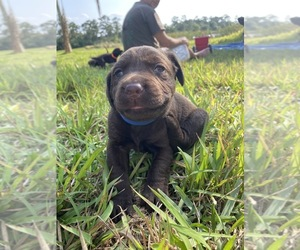 Main photo of Labrador Retriever Dog Breeder near VERO BEACH, FL, USA