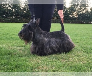 Scottish Terrier Breeder in SOMERVILLE, AL