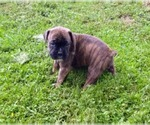 Boxer Breeder in NEW STANTON, PA, USA