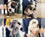Olde English Bulldogge Breeder in ASPEN, CO