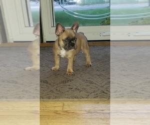French Bulldog Dog Breeder in BARESVILLE,  USA
