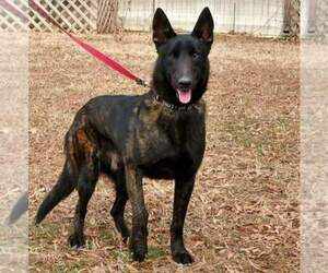 Main photo of Dutch Shepherd Dog Dog Breeder near DINWIDDIE, VA, USA
