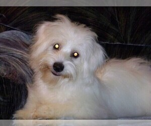 Coton de Tulear Dog Breeder near HORSE BRANCH, KY, USA