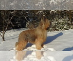 Briard Breeder in GARDNERS, PA, USA