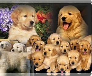 Golden Retriever Breeder in AVA, MO, USA