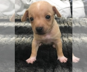 Chihuahua Breeder in HIALEAH, FL, USA