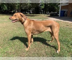 Rhodesian Ridgeback Dog Breeder near FORT MEADE, FL, USA