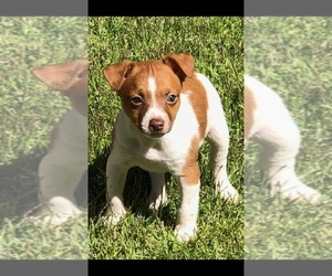 Rat Terrier Dog Breeder near FLORENCE, AL, USA