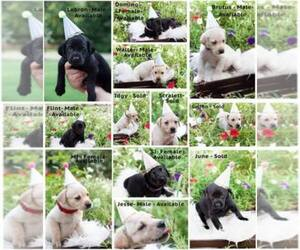 Main photo of Labrador Retriever Dog Breeder near CANTON, GA, USA