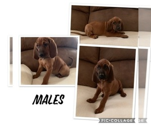 Redbone Coonhound Dog Breeder near YUCAIPA, CA, USA