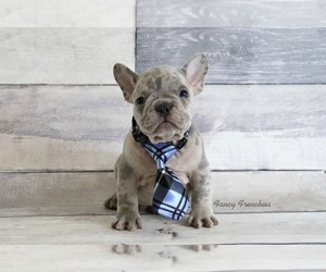 Main photo of French Bulldog Dog Breeder near COOPER CITY, FL, USA