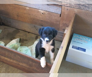 Main photo of Border Collie Dog Breeder near MELBER, KY, USA