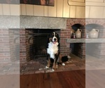 Bernese Mountain Dog Breeder in SHAPLEIGH, ME, USA