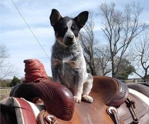Australian Cattle Dog Dog Breeder near HILLSBORO, TX, USA
