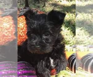 Main photo of Schnauzer (Miniature) Dog Breeder near BRYAN, TX, USA