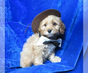 Main photo of Cavapoo Dog Breeder near NORWOOD, MO, USA