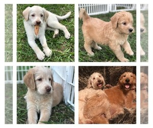 Main photo of Labradoodle Dog Breeder near PLANT CITY, FL, USA