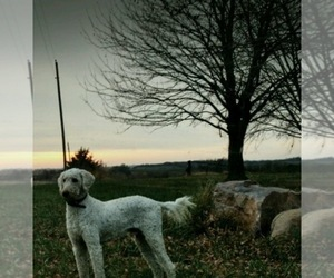 Main photo of Goldendoodle Dog Breeder near MARYVILLE, MO, USA