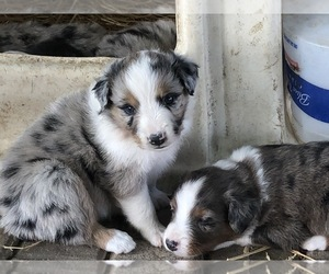 Main photo of Australian Shepherd Dog Breeder near MORRILL, KS, USA
