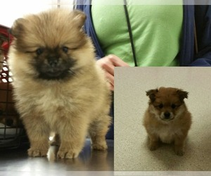 Main photo of Pomeranian Dog Breeder near BELLEVUE, WA, USA