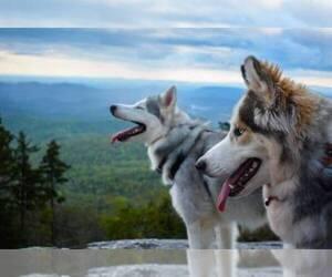Main photo of Siberian Husky Dog Breeder near MORGANTON, NC, USA