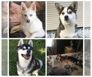Mini Husky Breeder in DICKSON CITY, PA