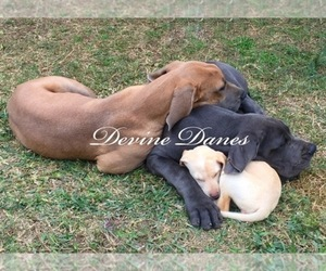 Great Dane Dog Breeder near DEVINE, TX, USA
