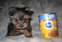Teacup and small Yorkie puppies