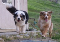 Bline's Awesome 'Mini' Aussies!
