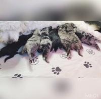 Image of website Goldendoodle Puppies