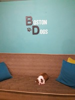 Bostondogs