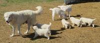 Italian Maremma Sheepdogs Livestock Guardian Dogs